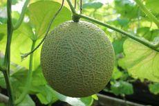 Mencicipi Melon Ashimori, Wow! Rasanya