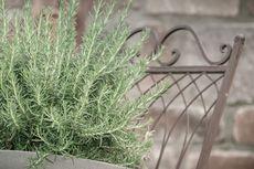 Simak, Begini Cara Menanam Rosemary, Tanaman Herbal yang Harum