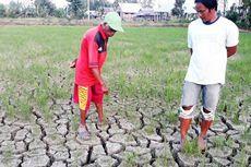 Petani Pasrah Menunggu Musim Hujan, Ratusan Hektar Tanaman Padinya Terancam Mati