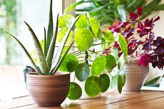 10 Tanaman Hias yang Bisa Menyerap Debu dalam Rumah