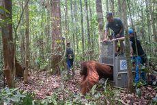 Kisah Orangutan Junai yang Buta Tertembus Peluru, Melanjutkan Hidup di Gunung Tarak