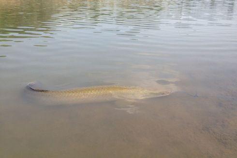 Ecoton: Ada yang Sengaja Lepas Ikan Arapaima ke Sungai Brantas