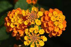 7 Tanaman Bunga Gantung yang Tahan Panas