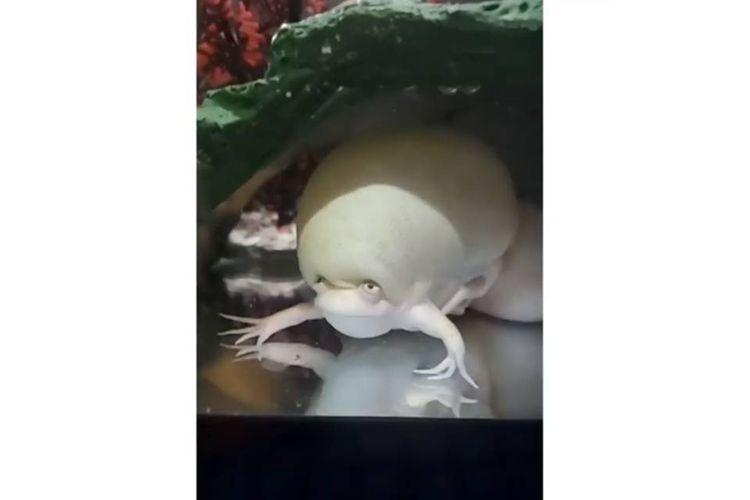 Tangkapan layar video viral katak berwarna putih dengan kepala yang mengembang disebut sebagai tuyul air.