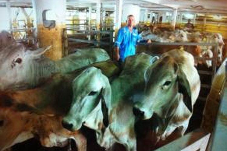 Sekitar 1000 sapi indukan dari Australia ini siap dikembangbiakkan untuk menghasilkan sapi bergenetik wagyu.