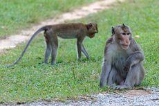 Pria China Meninggal Setelah Terinfeksi Virus Monyet, Apa Itu Virus Monkey B?