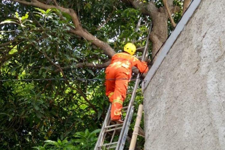 Petugas berupaya mengevakuasi seekor ular sanca dari sebuah pohon di Kalideres, Jakarta Barat, Senin (11/2/2019).