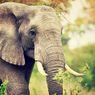 Kronologi Anggota TNI Tewas Diinjak Gajah, Berawal Saat Bantu Warga