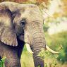 Ditinggal Mati Sahabatnya, Gajah Ini Depresi dan Mendapat Perawatan Minyak Ganja
