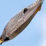 Peregrine Falcon, Burung Tercepat di Dunia