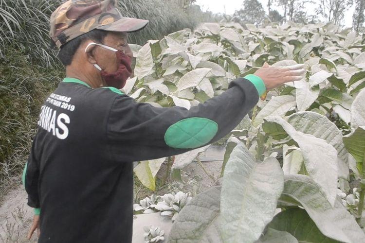 Petani sedang membersihkan daun tanaman tembakau yang terdampak abu vulkanik Gunung Merapi, di Kecamatan Dukun, Kabupaten Magelang, Jawa Tengah, Kamis (19/8/2021)