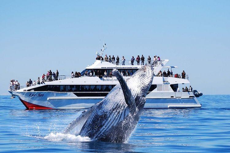 Melihat paus dari jarak dekat di Brisbane, Queensland