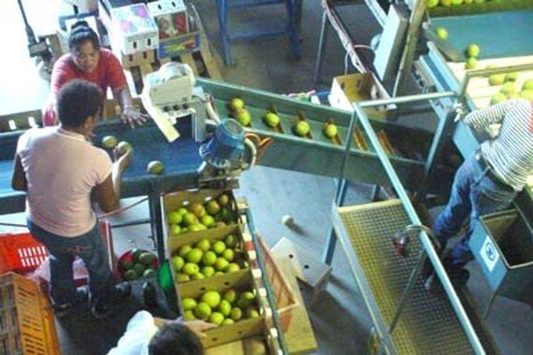 Pemilik kebun mengatakan pembayaran per buah memberikan penghargaan bagi pekerja cepat.