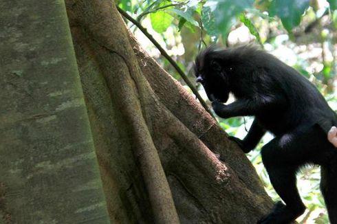 Petani Bireuen Resah Tanaman Palawija Diserang Monyet dan Babi
