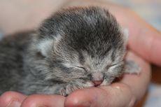 Kapan Mata Anak Kucing Terbuka? Simak, Ini Penjelasannya