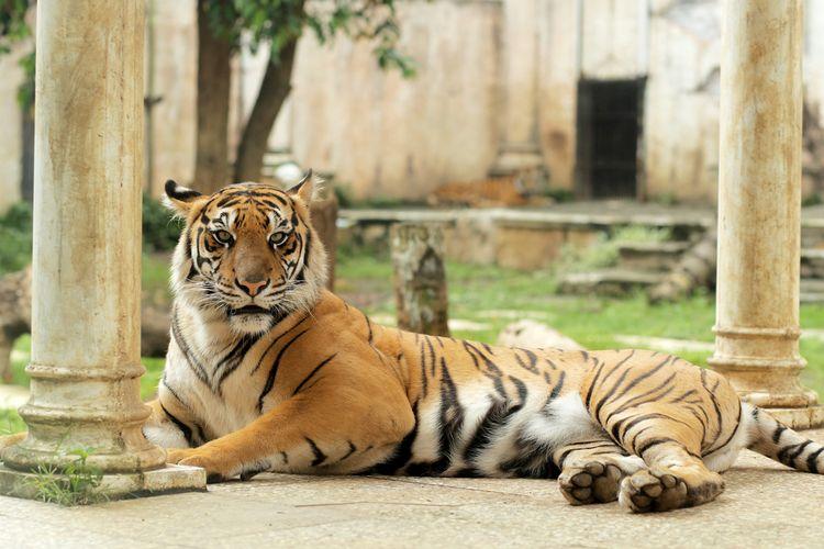 Harimau di Batu Secret Zoo (Jawa Timur Park 2)