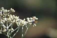 Jangan Dicabut, Bunga Edelweiss Bisa Dibeli di Desa Wonokitri Pasuruan