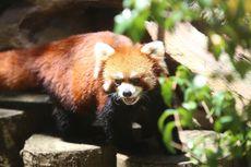 Tak Kalah Menggemaskan, Ini Saudara Dekat Panda Raksasa di Taman Safari