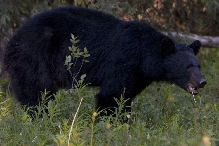 Ilustrasi beruang hitam.