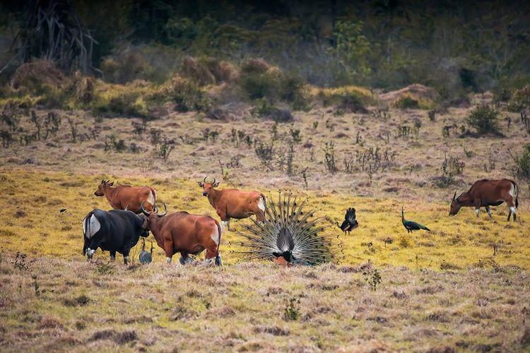 Taman Nasional Alas Purwo, Banyuwangi, Jawa Timur  DOK. Shutterstock/Agus Sudharnoko