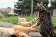 Mengapa Kucing Sering Berkelahi?