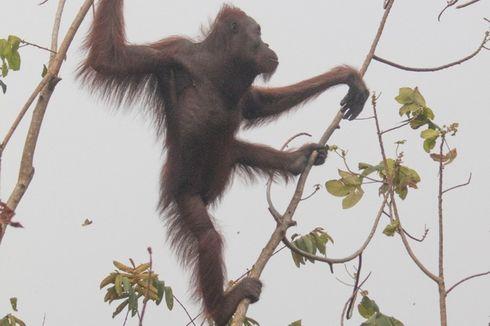 Kisah Bara dan Arang, Orangutan di Atas Pohon di Lahan Terbakar