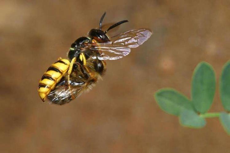 Bak Pakai Kulkas, Begini Rahasia Lebah Awetkan Makanan