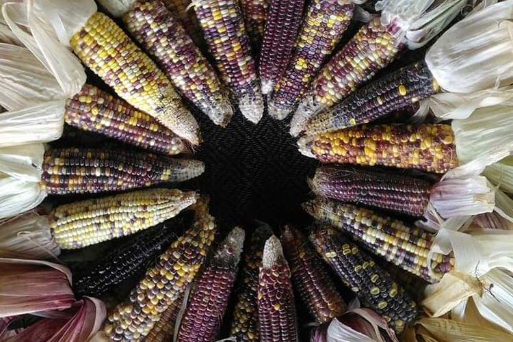 Aneka jagung warna warni bak pelangi yang berhasil dibudidayakan seorang petani asal Cianjur, Jawa Barat