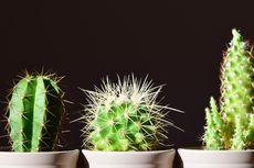 Manfaat Kaktus Selain Sebagai Tanaman Hias