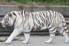 Harimau Putih Gigit Pengunjung sampai Tewas di Kebun Binatang di India