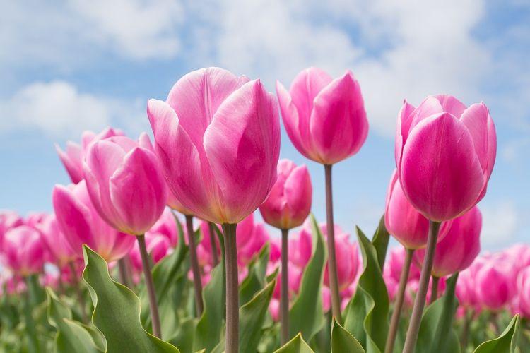 Ilustrasi bunga tulip.