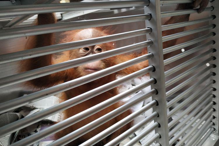 Bonbon, seekor orangutan yang berhasil diselamatkan di Bandara Ngurah Rai, Bali