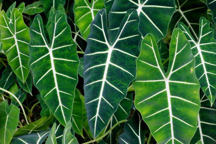 Ilustrasi tanaman hias Alocasia Odora.