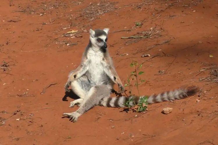 Pergelangan tangan lemur ekor cincin jantan (Lemur catta) mengeluarkan aroma manis yang berfungsi menarik perhatian betina.