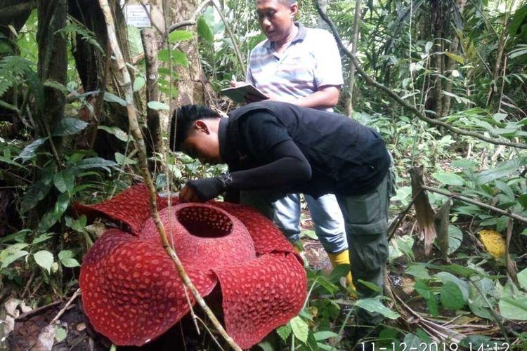 Petugas BKSDA Agam memeriksa bunga Rafflesia yang tumbuh di daerah itu
