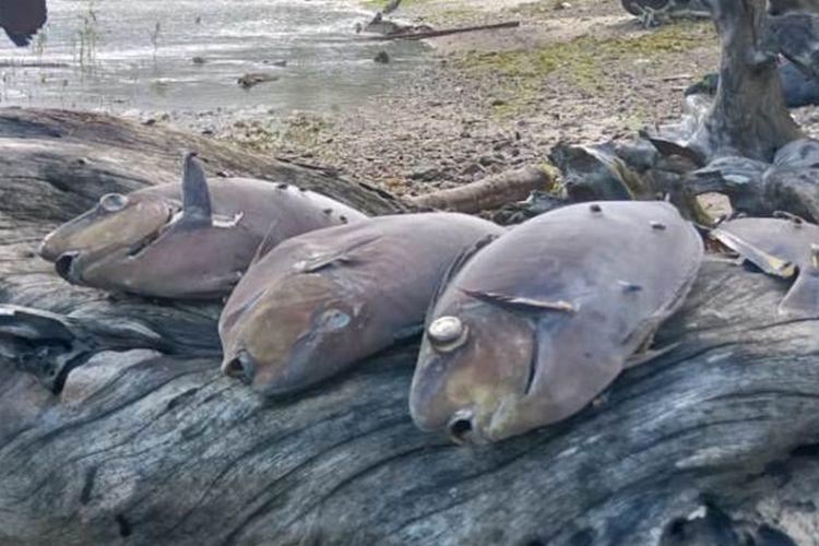 Ratusan ikan mendadak mati terdampar di pantai Desa Rutong, Kecamatan Leitimur Selatan, Ambon, Minggu (15/9/2019) Foto Waty Thenu