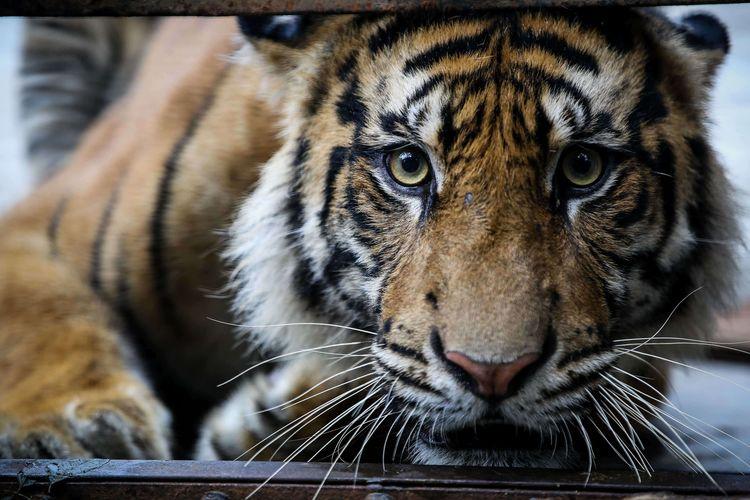 Harimau sumatera (Panthera tigris Sumatrae) terlihat di kandang jerat saat proses translokasi di Kawasan Konservasi Tambling, Lampung, Rabu (22/1/2020). Harimau yang diduga menerkam warga di Sumatera Selatan ini akan menjalani observasi di Tambling Wildlife Nature Conservation (TWNC).