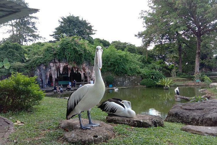 Burung pelikan yang bisa dihampiri dan dilihat oleh wisatawan saat berkunjung ke Taman Burung di Taman Mini Indonesia Indah (TMII), Minggu (5/7/2020).