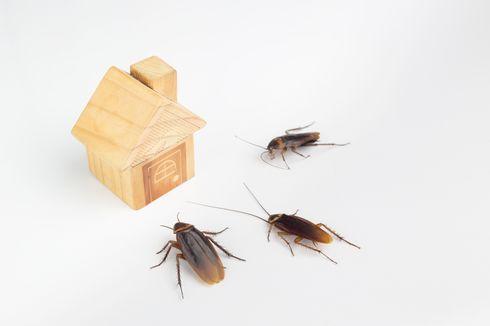Ini Cara Usir Kecoa dari Rumah