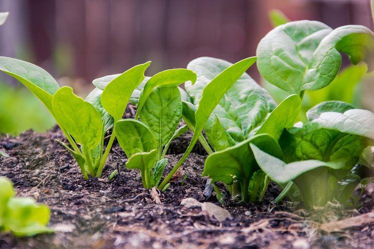 Ilustrasi bayam, menanam sayuran di rumah.
