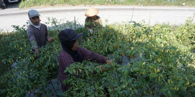 Petani cabai di lereng Merapi, Boyolali, Jawa Tengah mengeluhkan harga yang hancur
