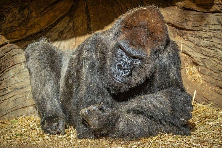 Winston, gorila positif Covid-19 di Kebun Binatang San Diego, Amerika Serikat (AS), pulih dengan pengobatan antibodi sintetis.