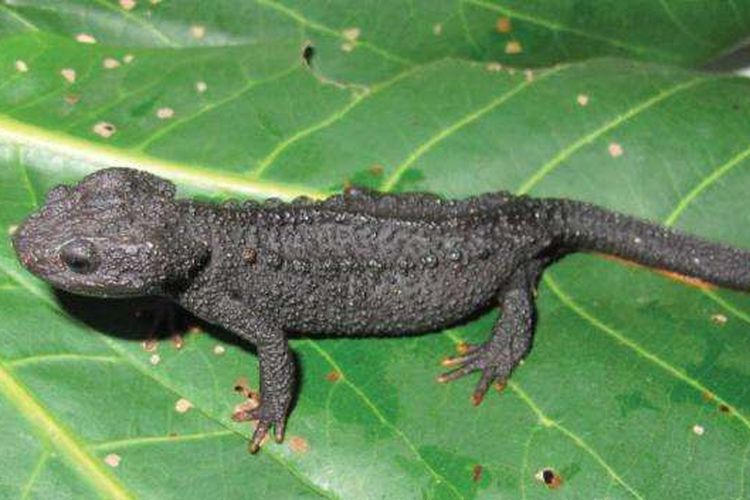 Salah satu dari spesies kadal buaya yang baru ditemukan, Tylototriton sparreboomi.