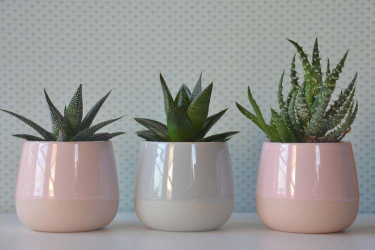 Pot tanaman kaktus yang cantik dapat meningkatkan harga jualnya. Ukuran pot yang pas juga penting untuk pertumbuhan kaktus.