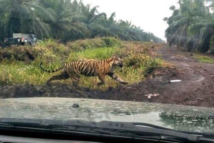 Harimau Bonita diburu petugas sejak menerkam dua warga Kabupaten Indragiri Hilir Riau hingga tewas pada Januari dan Maret silam. Bonita pertama kali menerkam karyawati perusahaan sawit Jumiati pada 3 Januari 2018.