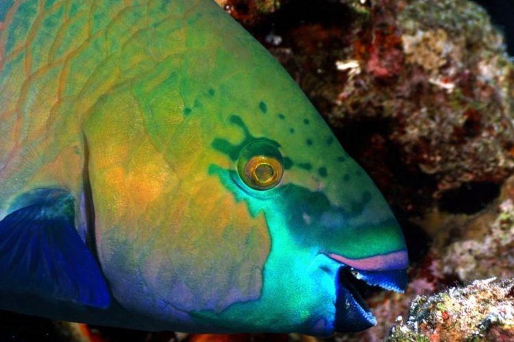 Parrotfish atau ikan kakatua, pemakan alga di terumbu karang. Dalam satu tahun, seekor parrotfish dewasa dapat menghasilkan 362 kilogram pasir.