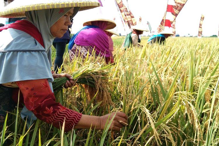 Seorang petani tengah memetik bulir padi berkualitas untul benih musim tanam berikutnya dalam upacara Nyalin di sawah milik Herman El Fauzan di Desa Dukuhkarya, Kecamatan Rengasdengklok, Karawang, Minggu (13/10/2019) siang.