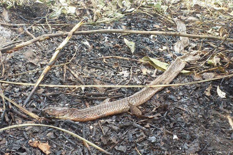 Ular kobra yang ditemukan mati akibat karhutla di Kampung Bunsur, Kecamatan Sungai Apit, Kabupaten Siak, Riau, Selasa (11/2/2020).