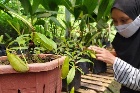 Melihat Konservasi Kantong Semar, Tanaman Langka Pemakan Serangga Endemik Gunung Slamet