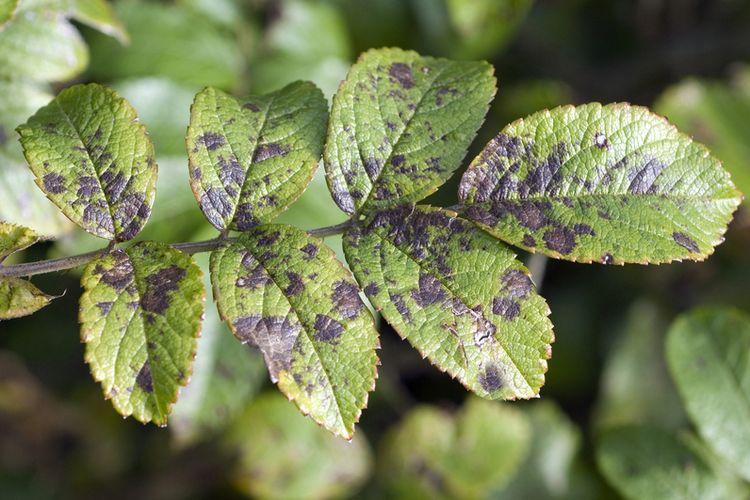 Ilustrasi bercak-bercak hitam pada daun tanaman.